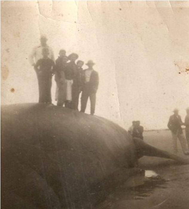 Baleia foi encontrada às margens da praia de Guaratuba em 1952 (Acervo: Gelta Adalir Amorim)